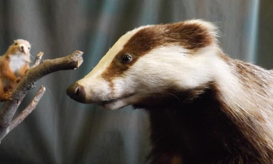 Close up image of badger staring at a squirrel on a branch