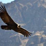 Andean condor glides through the sky